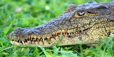Crocodile - One dangerous animal to watch out for when travelling